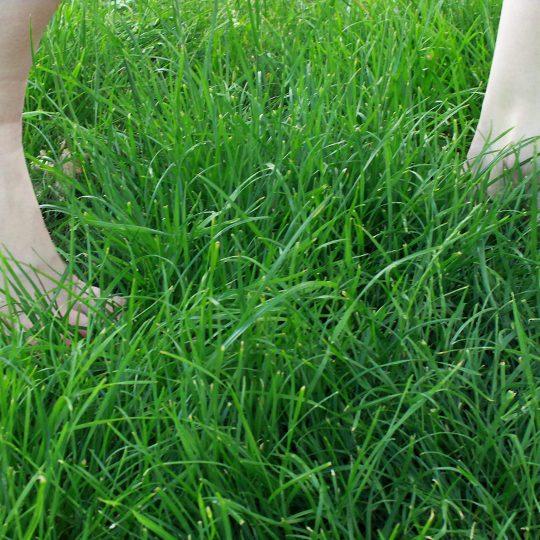Durch Zecken wird das Barfußlaufen im hohen Gras gefährlich
